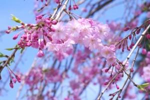 桜・枝垂桜