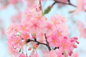 桜:河津桜