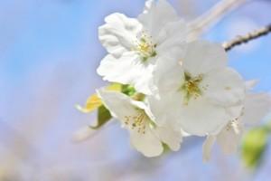 桜・大島桜