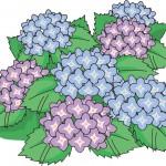 あじさい(紫陽花)の花言葉の意味や由来とは