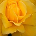 フリージアの花言葉は色別で違う?フリージアの名前の由来は?
