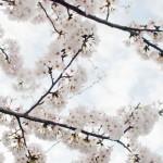 代表的な桜の種類の名前と花言葉まとめ