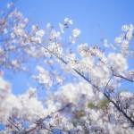 2016年の桜の見頃はいつ?桜の開花時期の予想