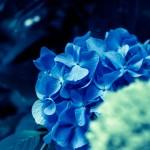 紫陽花には毒がある?どうして紫陽花と書いてあじさいと読むの?