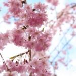 東谷山フルーツパークのしだれ桜2016の見頃はいつ?アクセス方法や駐車場について