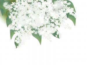 白のライラック