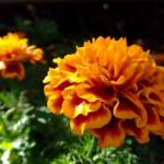 マリーゴールドは種から育てやすい花?育て方や注意する病気について