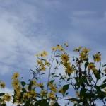 夏に咲く黄色の花姫ヒマワリのプランターでの育て方