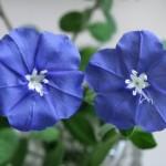 アメリカンブルーの花言葉や名前の由来は?コレをしないと花がたくさん咲かない
