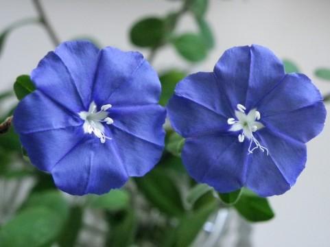花 言葉 ブルー アメリカン