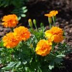 マリーゴールドの花言葉と由来についてチェック!贈り物には不向きな花?