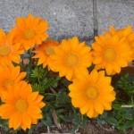 ガザニアの育て方のポイントは?花が咲かないのはなぜ?