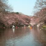 井の頭恩賜公園の桜2016年の見頃はいつ?花見シーズンは混雑する?