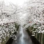 目黒川の桜2016の見頃やアクセス方法は?混雑するのは避けられない?