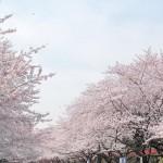 東京で駅近にある桜はどこ?2016年お花見をワイワイ楽しみたいならココ!