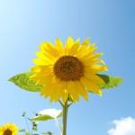 ひまわりは種から育てるときいつ植えたらいい?ひまわりの育て方