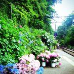 箱根あじさい電車2016の見頃は?ライトアップの時間や場所について