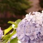 2016年のあじさいの開花はいつ?東京のあじさいの名所3選