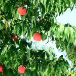 福島の桃狩りができて食べ放題があるオススメ農園4選