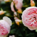 バラ祭りよしうみ2016の日程や薔薇の見頃は?駐車場はある?