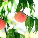 関西にある桃狩りで食べ放題があるオススメ農園4選