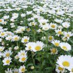 秋に咲く白い花の名前と花言葉まとめ!ガーデニング初心者でも育てやすい花