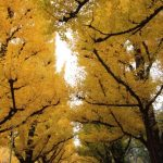 明治神宮外苑の紅葉2016の見頃といちょう祭りの日程は?最寄駅やアクセス方法について