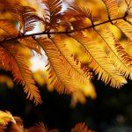 メタセコイア並木の紅葉2016の見頃やライトアップはある?穴場スポット