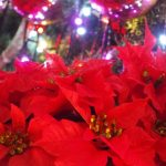 ポインセチアがクリスマスで使われる理由と花言葉!来年も赤くする方法