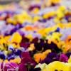 冬でもガーデニングを楽しみたい!初心者でも育てやすい冬の花は?